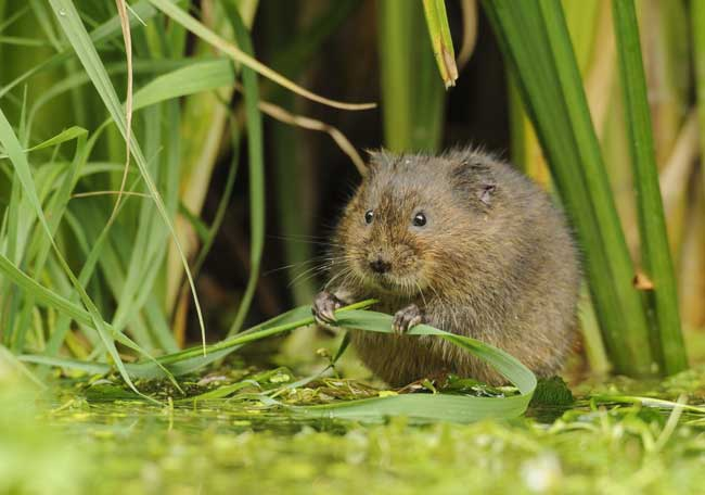 Water vole by Terry Whittaker/2020Vision