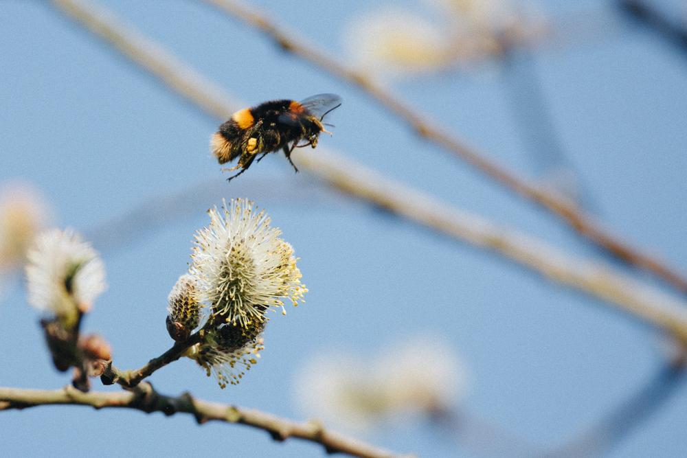 bee blossom thumbnail
