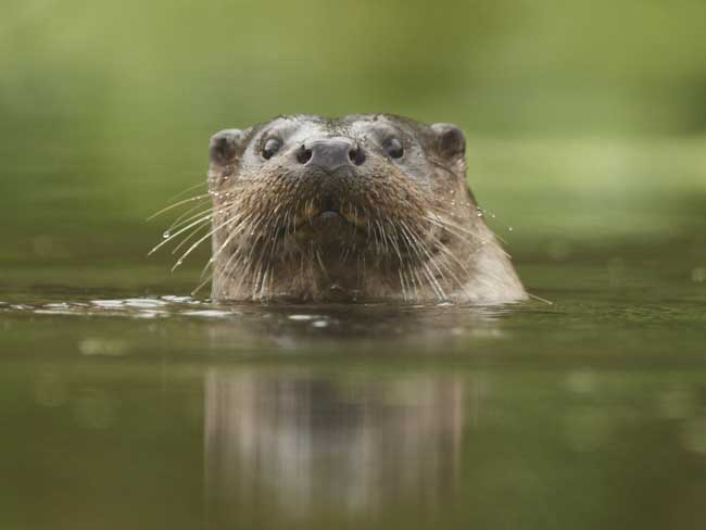 Otter by Luke Massey/2020Vision