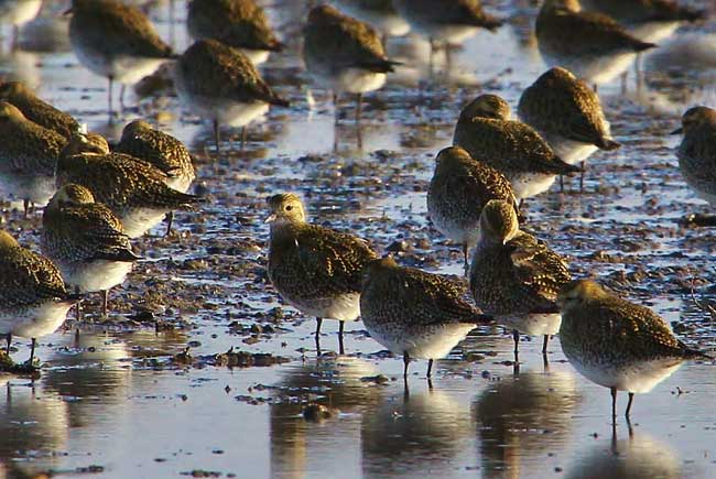 Golden plover by Tony Sutton
