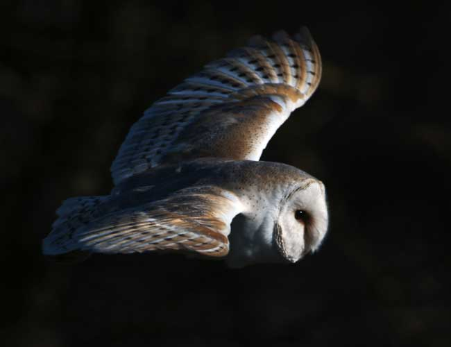 Barn owl by David Tipling