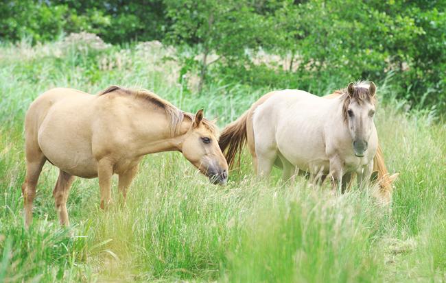 Konik ponies grazing at Clayrack Marshes