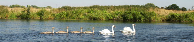 A line of swans