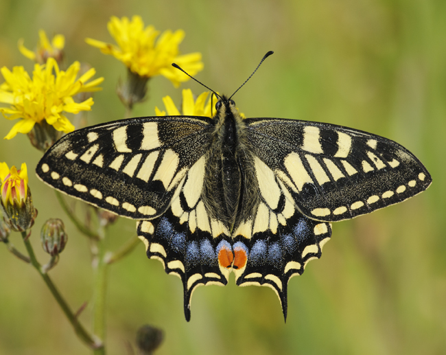 Swallowtail butterfly by Terry Whittaker/2020Vision