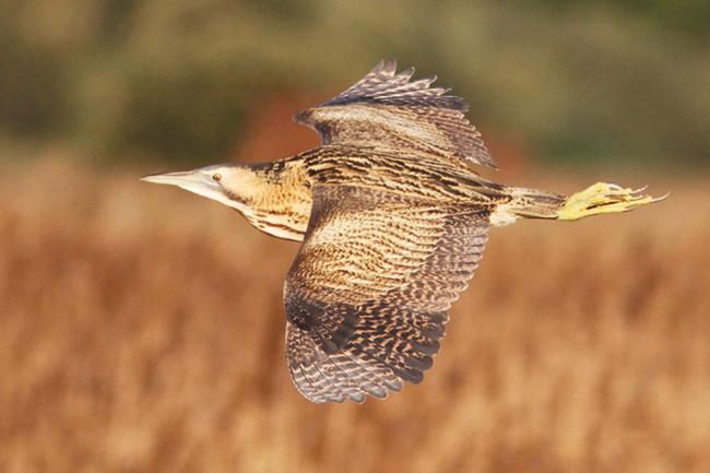 Bittern in flight